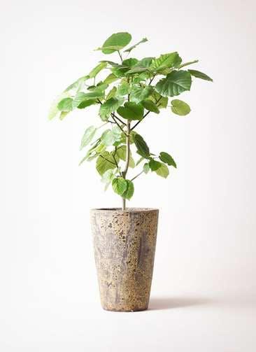 観葉植物 フィカス ウンベラータ 8号 ノーマル アトランティス クルーシブル 付き