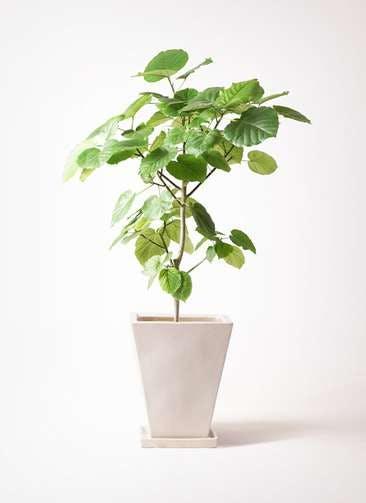観葉植物 フィカス ウンベラータ 8号 ノーマル スクエアハット 白 付き