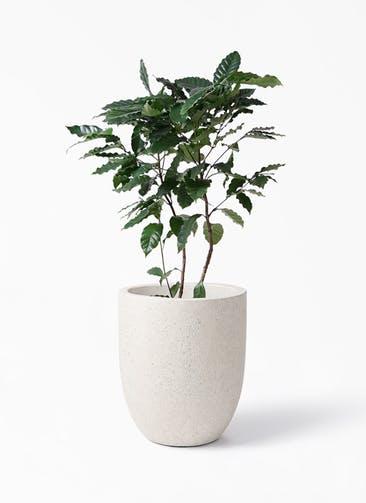 観葉植物 コーヒーの木 8号 フォリオアルトエッグ クリーム 付き