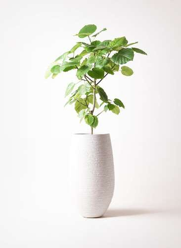 観葉植物 フィカス ウンベラータ 8号 ノーマル フォンティーヌトール 白 付き