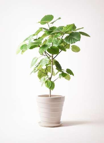 観葉植物 フィカス ウンベラータ 8号 ノーマル サバトリア 白 付き