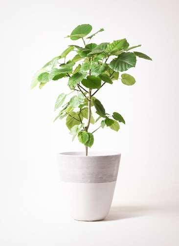 観葉植物 フィカス ウンベラータ 8号 ノーマル ジュピター 白 付き