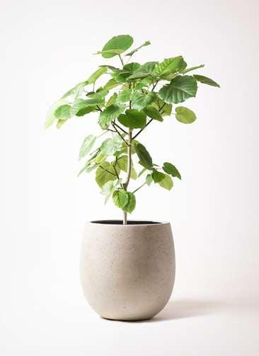 観葉植物 フィカス ウンベラータ 8号 ノーマル テラニアス バルーン アンティークホワイト 付き