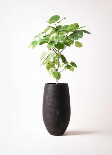 観葉植物 フィカス ウンベラータ 8号 ノーマル フォンティーヌトール 黒 付き