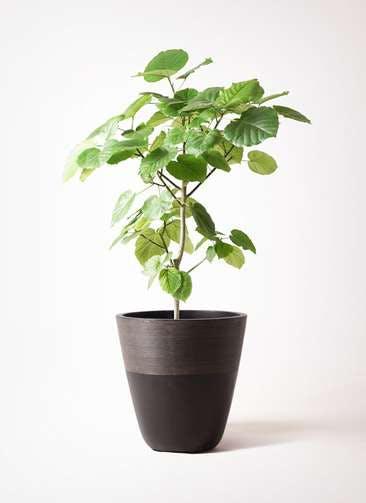 観葉植物 フィカス ウンベラータ 8号 ノーマル ジュピター 黒 付き