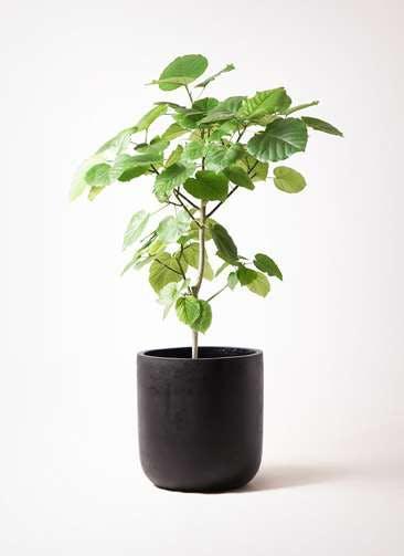 観葉植物 フィカス ウンベラータ 8号 ノーマル エルバ 黒 付き