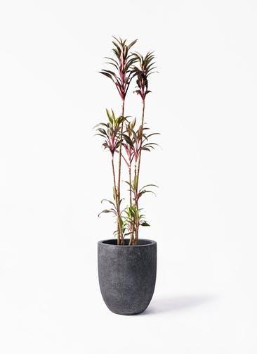 観葉植物 コルディリネ (コルジリネ) ターミナリス 8号 フォリオアルトエッグ ブラックウォッシュ 付き