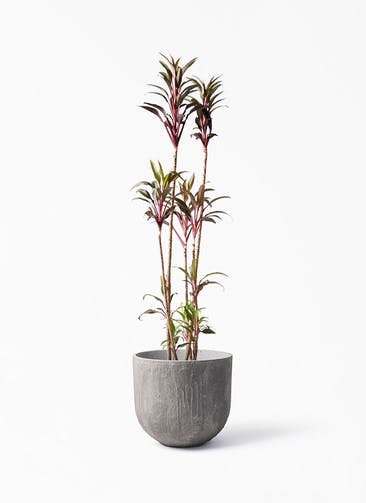観葉植物 コルディリネ (コルジリネ) ターミナリス 8号 バル ユーポット アンティークセメント 付き