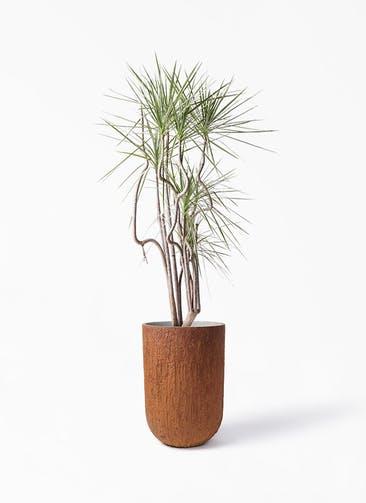 観葉植物 コンシンネ ホワイポリー 8号 曲り バル トール ラスティ 付き