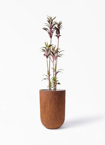 観葉植物 コルディリネ (コルジリネ) ターミナリス 8号 バル トール ラスティ 付き