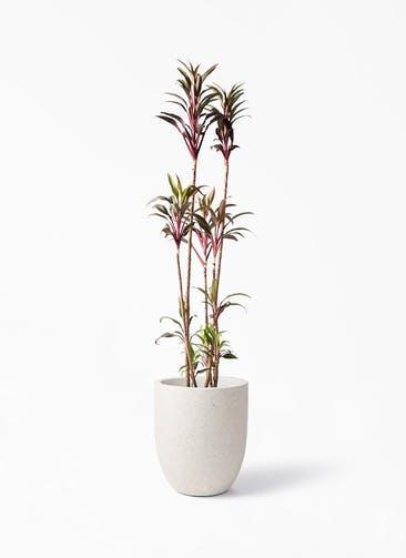 観葉植物 コルディリネ (コルジリネ) ターミナリス 8号 フォリオアルトエッグ クリーム 付き