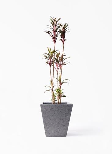 観葉植物 コルディリネ (コルジリネ) ターミナリス 8号 スクエア ラテルストーン  付き
