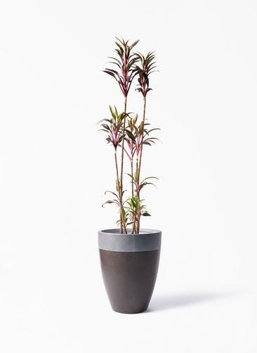観葉植物 コルディリネ (コルジリネ) ターミナリス 8号 ファイバーストーン カプリ マッドブラウン 付き