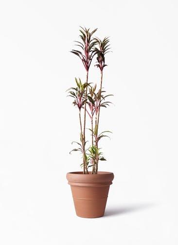 観葉植物 コルディリネ (コルジリネ) ターミナリス 8号 トスカーナ リムポット 付き