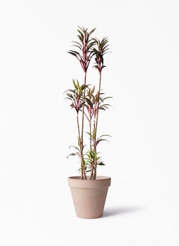 観葉植物 コルディリネ (コルジリネ) ターミナリス 8号 スタンダルド アリーナ 付き