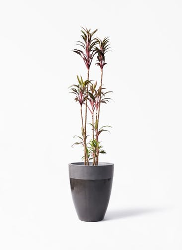 観葉植物 コルディリネ (コルジリネ) ターミナリス 8号 ファイバーストーン カプリ 黒 付き
