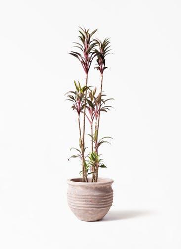 観葉植物 コルディリネ (コルジリネ) ターミナリス 8号 テラアストラ リゲル 赤茶色 付き