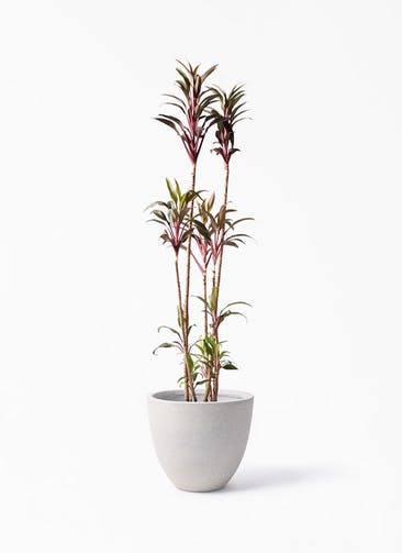観葉植物 コルディリネ (コルジリネ) ターミナリス 8号 スタウト アッシュラウンド 付き
