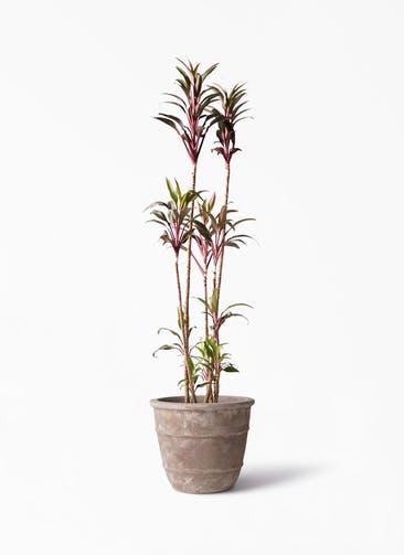 観葉植物 コルディリネ (コルジリネ) ターミナリス 8号 テラアストラ シリウス 付き