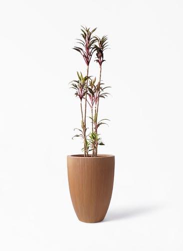 観葉植物 コルディリネ (コルジリネ) ターミナリス 8号 リブラ モノ ラスティ 付き