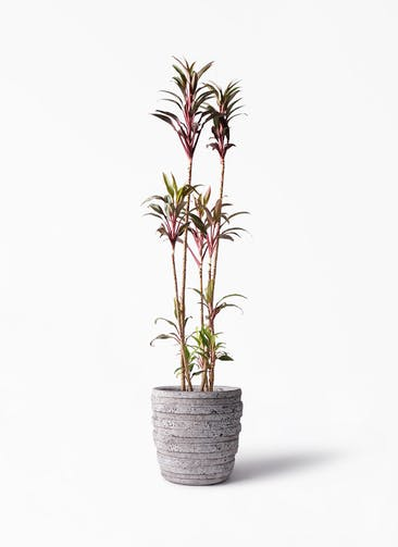 観葉植物 コルディリネ (コルジリネ) ターミナリス 8号 凛(りん)ラージS  付き