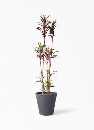 観葉植物 コルディリネ (コルジリネ) ターミナリス 8号 ビアスソリッド ブラック 付き