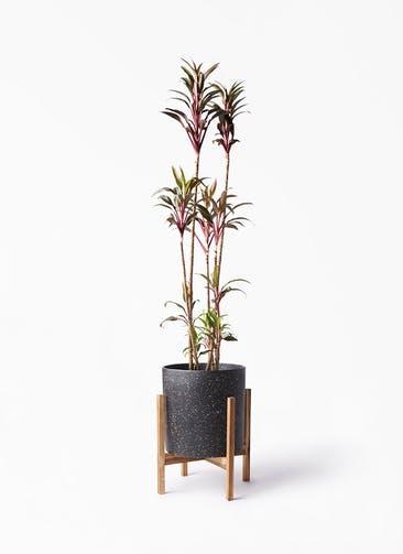 観葉植物 コルディリネ (コルジリネ) ターミナリス 8号 ホルスト シリンダー スパークルブラック ウッドポットスタンド 付き