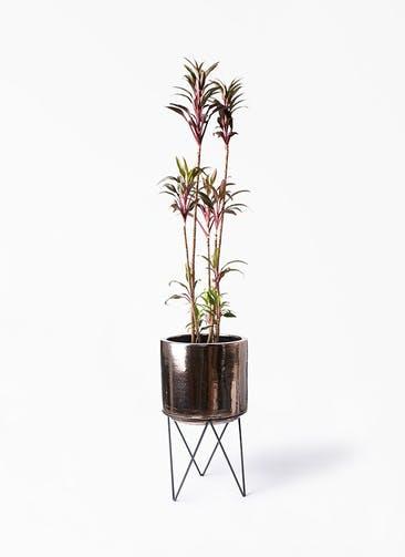 観葉植物 コルディリネ (コルジリネ) ターミナリス 8号 ビトロ エンデカ ゴールド アイアンポットスタンド ブラック  付き