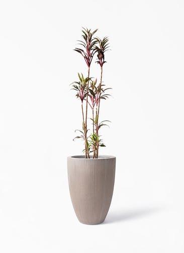 観葉植物 コルディリネ (コルジリネ) ターミナリス 8号 リブラ モノ ブラウン 付き
