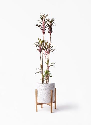 観葉植物 コルディリネ (コルジリネ) ターミナリス 8号 ホルスト シリンダー スパークルホワイト ウッドポットスタンド 付き