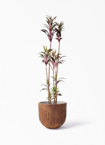 観葉植物 コルディリネ (コルジリネ) ターミナリス 8号 バル ユーポット ラスティ  付き