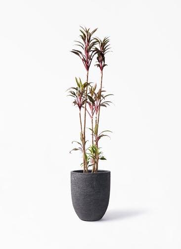 観葉植物 コルディリネ (コルジリネ) ターミナリス 8号 ビアスアルトエッグ ブラック 付き