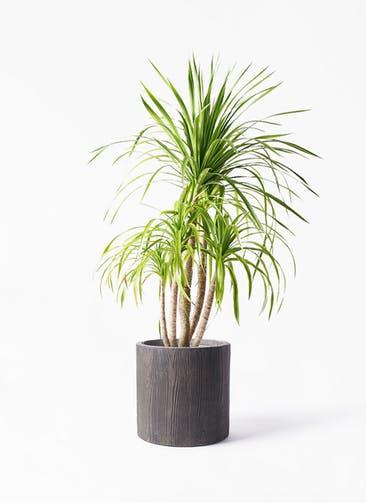 観葉植物 ドラセナ カンボジアーナ 8号 アルファ シリンダープランター ウッド 付き