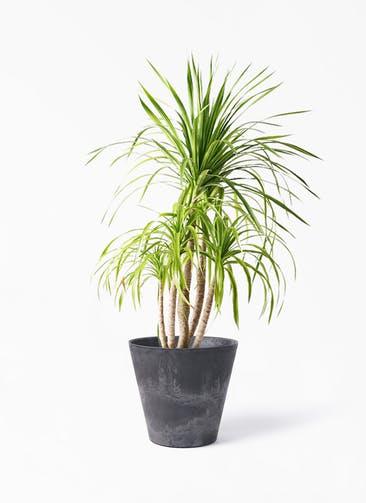 観葉植物 ドラセナ カンボジアーナ 8号 アートストーン ラウンド ブラック 付き