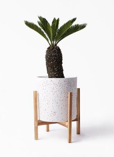 観葉植物 ソテツ 8号 ホルスト シリンダー スパークルホワイト ウッドポットスタンド 付き