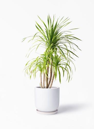 観葉植物 ドラセナ カンボジアーナ 8号 アファール 白 付き