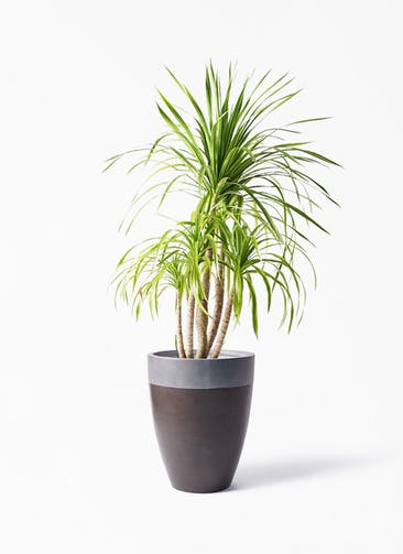 観葉植物 ドラセナ カンボジアーナ 8号 ファイバーストーン カプリ マッドブラウン 付き