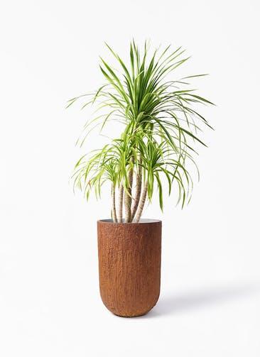 観葉植物 ドラセナ カンボジアーナ 8号 バル トール ラスティ 付き