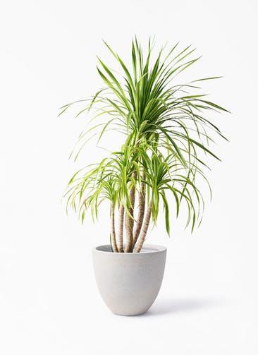 観葉植物 ドラセナ カンボジアーナ 8号 スタウト アッシュラウンド 付き
