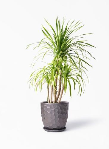 観葉植物 ドラセナ カンボジアーナ 8号 サンタクルストール ブロンズ 付き