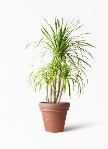 観葉植物 ドラセナ カンボジアーナ 8号 トスカーナ リムポット 付き