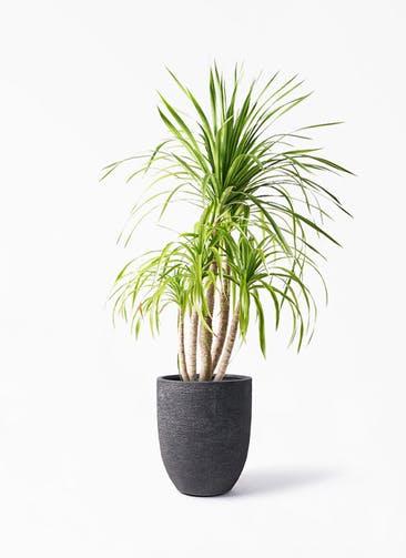 観葉植物 ドラセナ カンボジアーナ 8号 ビアスアルトエッグ ブラック 付き