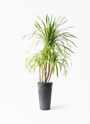 観葉植物 ドラセナ カンボジアーナ 8号 アートストーン トールラウンド ブラック 付き