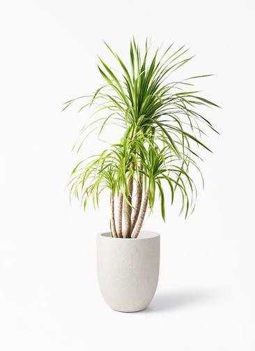 観葉植物 ドラセナ カンボジアーナ 8号 フォリオアルトエッグ クリーム 付き