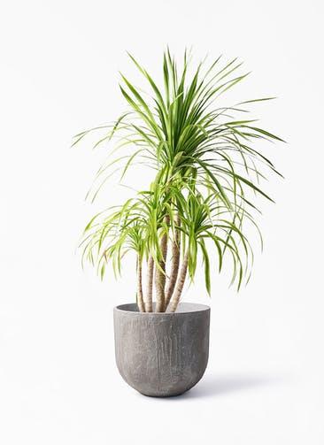 観葉植物 ドラセナ カンボジアーナ 8号 バル ユーポット アンティークセメント 付き
