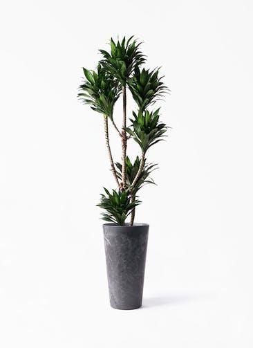 観葉植物 ドラセナ コンパクター 8号 アートストーン トールラウンド ブラック 付き