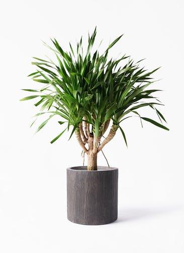 観葉植物 ドラセナ パラオ 8号 アルファ シリンダープランター ウッド 付き