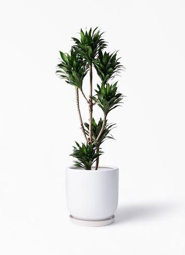 観葉植物 ドラセナ コンパクター 8号 アファール 白 付き