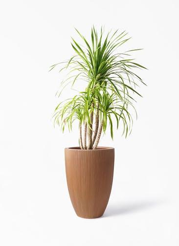 観葉植物 ドラセナ カンボジアーナ 8号 リブラ モノ ラスティ 付き