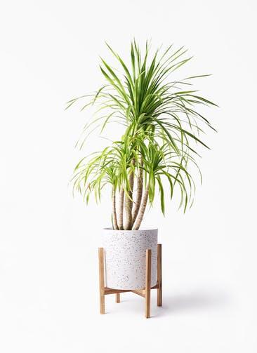 観葉植物 ドラセナ カンボジアーナ 8号 ホルスト シリンダー スパークルホワイト ウッドポットスタンド 付き